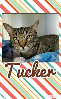 Domestic Shorthair Kitten for adoption in Edwards AFB, California - Tucker
