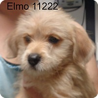 Adopt A Pet :: Elmo - baltimore, MD