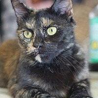 Domestic Mediumhair Cat for adoption in Westwood, New Jersey - Diana