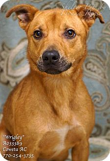 Labrador Retriever/Black Mouth Cur Mix Dog for adoption in Newnan City, Georgia - Wrigley