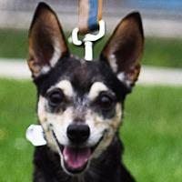 Chihuahua Dog for adoption in Huntley, Illinois - Cameron