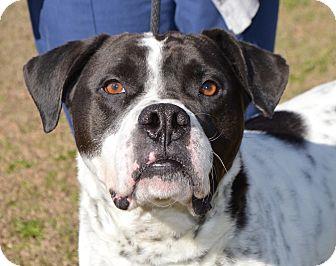 Boxer/Spaniel (Unknown Type) Mix Dog for adoption in Glenburn, Maine - PETEY