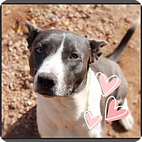 Adopt A Pet :: ABE - Grey Eyes! - Chandler, AZ