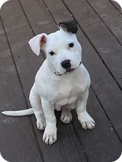 Pit Bull Terrier Mix Puppy for adoption in Toledo, Ohio - Popcorn