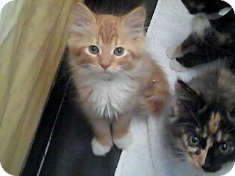 Domestic Mediumhair Kitten for adoption in Holmes Beach, Florida - Butter