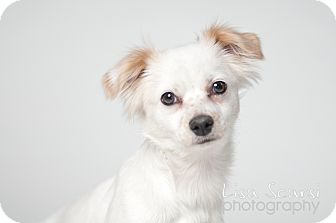 Cavalier King Charles Spaniel Mix Dog for adoption in Los Angeles, California - Fiona