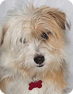 Yorkie, Yorkshire Terrier/Jack Russell Terrier Mix Dog for adoption in Cumberland, Maryland - Webster
