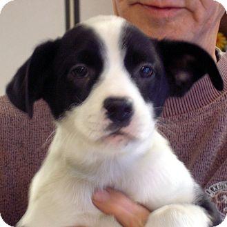 Border Collie/Labrador Retriever Mix Puppy for adoption in Greencastle, North Carolina - Calista