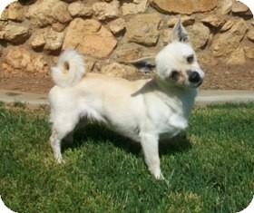 Chihuahua/Pug Mix Dog for adoption in Tustin, California - Georgia