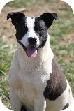 Pit Bull Terrier Mix Dog for adoption in Russellville, Kentucky - Tully