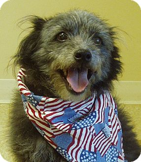 Schnauzer (Miniature)/Poodle (Miniature) Mix Dog for adoption in Hastings, Nebraska - Niles