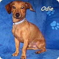 Adopt A Pet :: Odie - Chandler, AZ