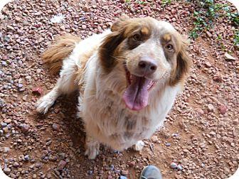 Australian Shepherd Dog for adoption in dewey, Arizona - Inky-Dinky