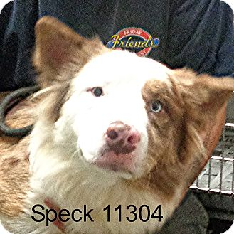 Australian Shepherd/Husky Mix Dog for adoption in baltimore, Maryland - Speck