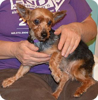 Yorkie, Yorkshire Terrier Dog for adoption in Prole, Iowa - Beyonce