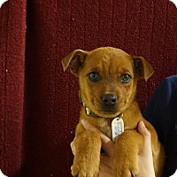 Adopt A Pet :: Cookie - Oviedo, FL