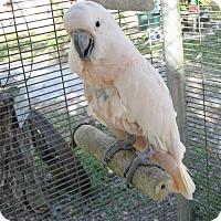Adopt A Pet :: Murphy - Christmas, FL