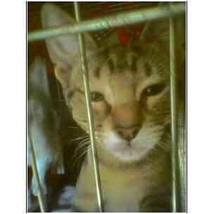 Domestic Shorthair Kitten for adoption in Owasso, Oklahoma - Petsmart Mia