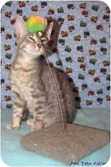 Domestic Shorthair Kitten for adoption in Orlando, Florida - Logan