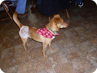 Dachshund/Chihuahua Mix Dog for adoption in Lawndale, North Carolina - Troy