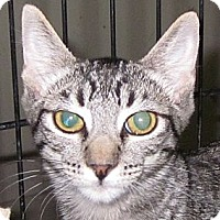 Domestic Shorthair Cat for adoption in Winchester, California - Tomika
