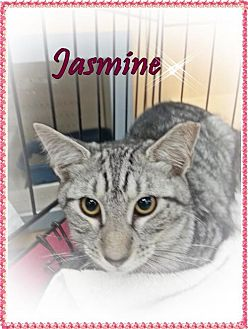 Domestic Mediumhair Cat for adoption in Orange City, Florida - Jasmine