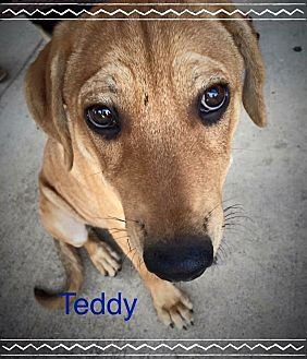 Rhodesian Ridgeback/Labrador Retriever Mix Puppy for adoption in Dallas, Texas - Teddy Bear