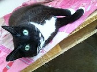 Domestic Shorthair Cat for adoption in Naples, Florida - Meeka