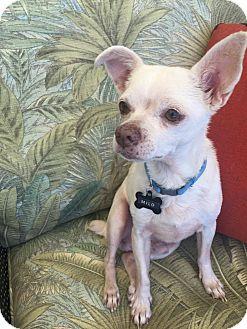 Chihuahua Mix Dog for adoption in Gilbert, Arizona - Milo
