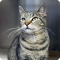 Domestic Shorthair Cat for adoption in Fremont, Nebraska - Sheba