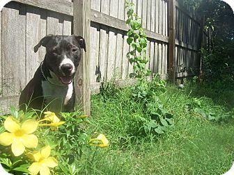 American Pit Bull Terrier/Labrador Retriever Mix Dog for adoption in Holmes Beach, Florida - Rico Suave