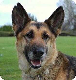 German Shepherd Dog Dog for adoption in San Diego, California - Minnie