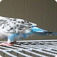 Adopt A Pet :: Crackers - Lenexa, KS
