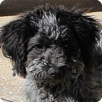Adopt A Pet :: Dickens - La Costa, CA