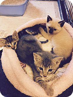Domestic Mediumhair Kitten for adoption in Monrovia, California - Kittens