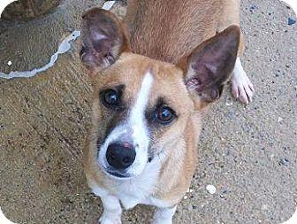 Feist Dog for adoption in Staley, North Carolina - Ottis