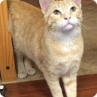 Adopt A Pet :: Tofu - Reston, VA