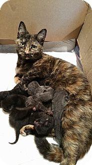 Domestic Shorthair Cat for adoption in Coeburn, Virginia - Penny