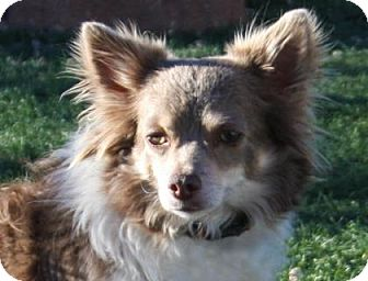 Chihuahua Mix Dog for adoption in Colorado Springs, Colorado - Milton