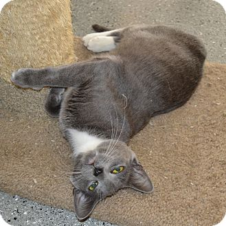 Domestic Shorthair Cat for adoption in Michigan City, Indiana - Mimi