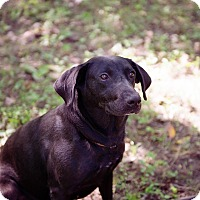Labrador Retriever Mix Dog for adoption in Brattleboro, Vermont - Coco