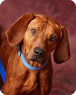 Redbone Coonhound Mix Dog for adoption in Harrisonburg, Virginia - Ridge