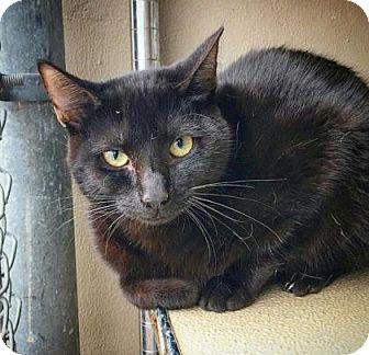 Domestic Shorthair Kitten for adoption in Fredericksburg, Texas - Polly