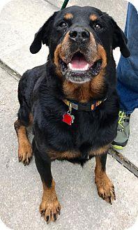 Rottweiler Dog for adoption in Houston, Texas - Rocky