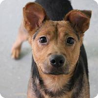 Adopt A Pet :: Chula - Phoenix, AZ