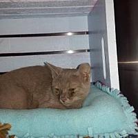Adopt A Pet :: Amore Zin - Glendale, AZ