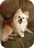 Pomeranian/Pekingese Mix Dog for adoption in Russellville, Kentucky - Ziggy
