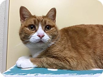 Domestic Shorthair Cat for adoption in Maryville, Missouri - Gabby