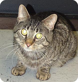 Domestic Shorthair Cat for adoption in Brooksville, Florida - SIMBA