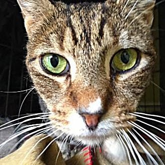 Domestic Shorthair Cat for adoption in Pt. Richmond, California - MELLO